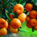 【崇明】初冬江南,要像橘子一样坚强……