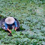 青浦|秋风河上起,一片采菱歌
